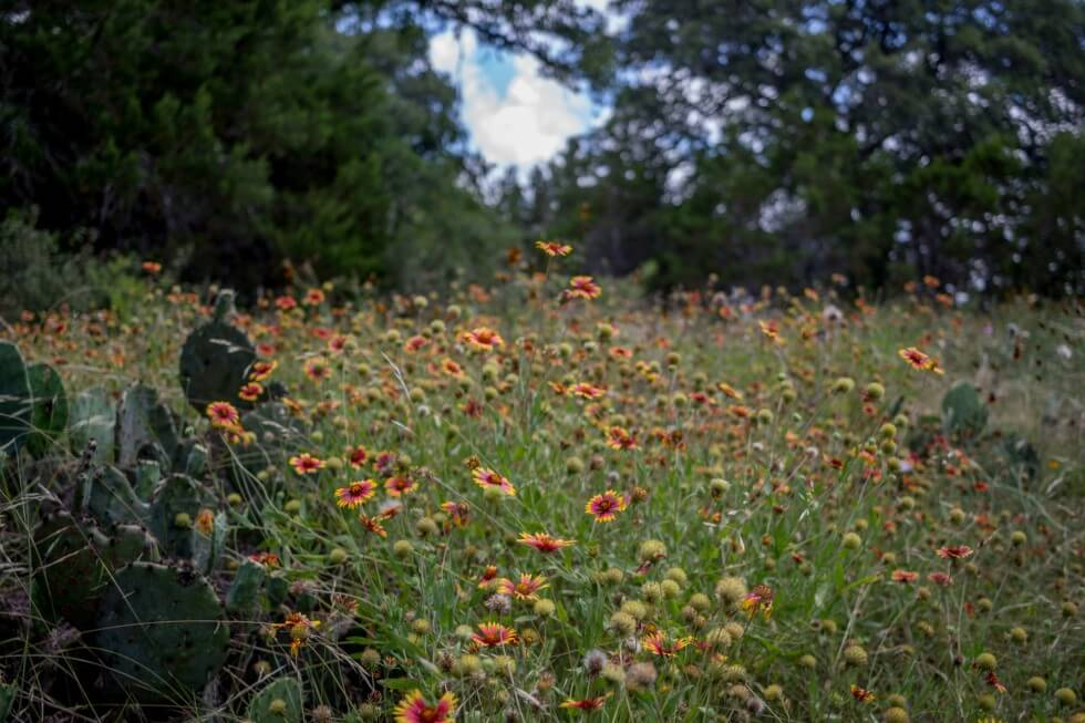 Wildflowers near Hamilton Pool Austin things to do
